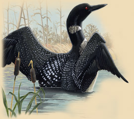 Painting of a loon spreading its wings.