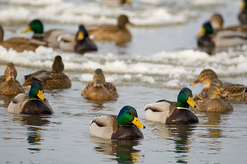 A group of mallards on the water.