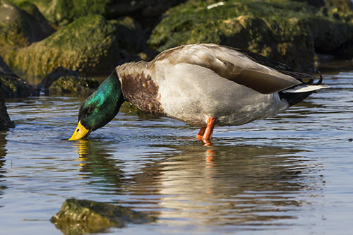 A mallard duck eating food.