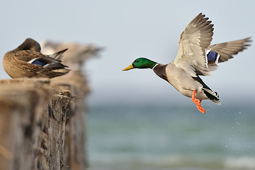 A male mallard duck flying to a female mallard.
