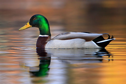 A mallard duck in a lake with a reflection.