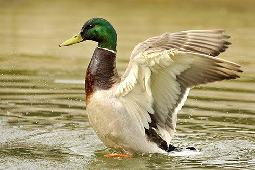 A Male Mallard Duck Lifting His Wings