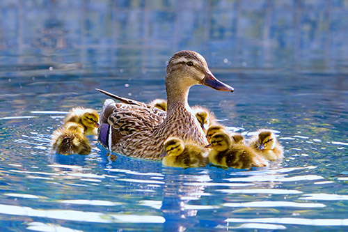 A female mallard duck with a bunch of ducklings.