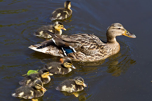 A female mallard duck with cute ducklings.