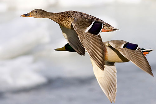 A pair of mallard ducks in flying in formation.