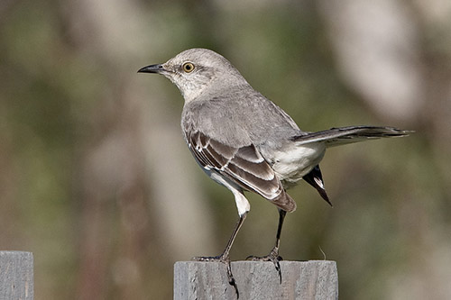 Northern Mockingbird on a post