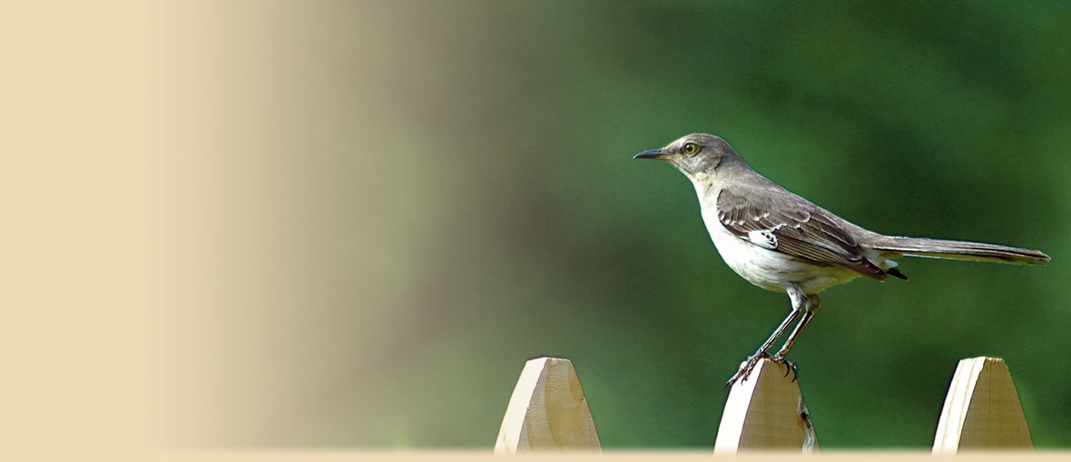 Northern Mockingbird facts, information, and photos from American Expedition. Photo by Jeff Kubina.
