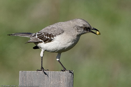 Northern Mockingbird with food in its mouth