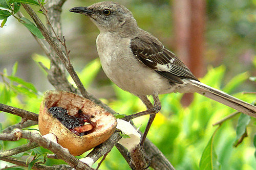 Northern Mockingbird with fruit in a tree.
