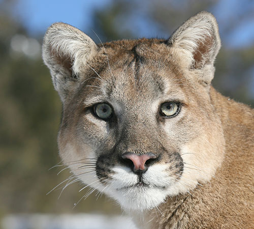 Mountain lion face - photo#3