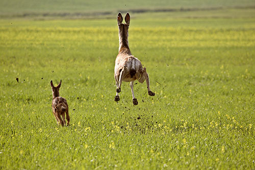 A female mule deer and her fawn bounding away.