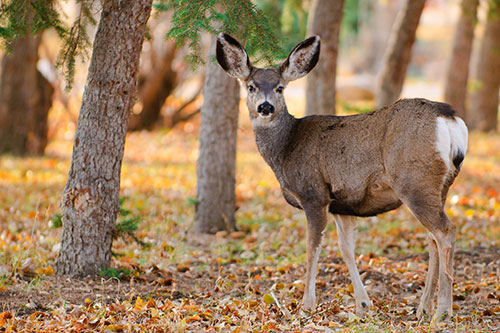 A mule deer doe photographed in a park.