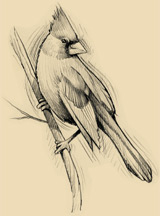 A sketch of a northern cardinal