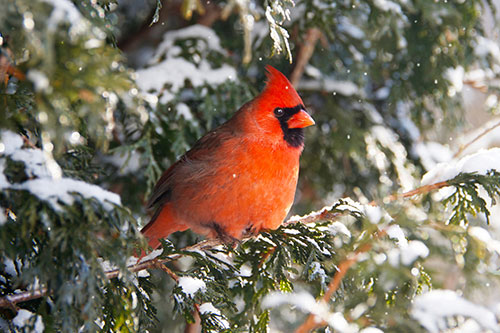 Northern Cardinal Habitat: A Northern Cardinal in an evergreen tree during a snowstorm.