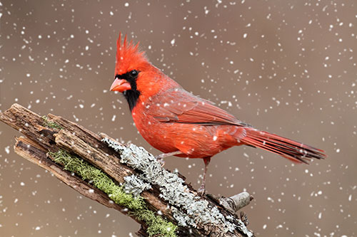 Northern Cardinal Facts, Information, Photos, and Artwork