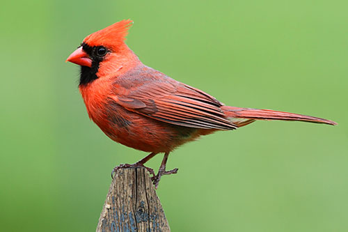 A Northern Cardinal on a fencepost with a green background.