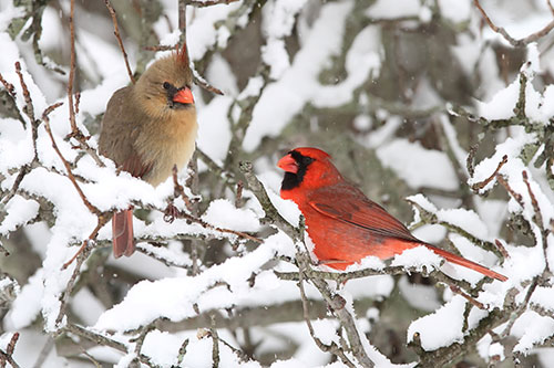 Northern Cardinal Information: A Cardinal Pair on a snowy branch in winter.