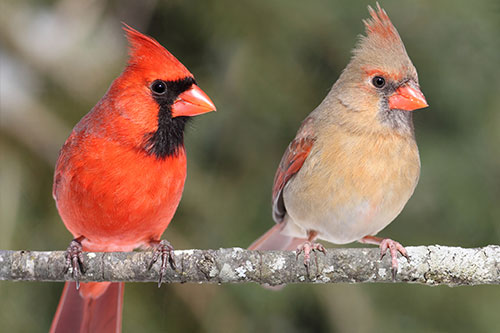 Northern Cardinal Facts: Cardinals are great parents and share responsibility for raising their young.