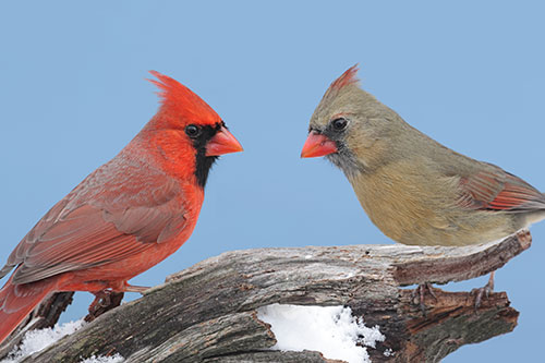 Northern Cardinal Pictures: A pair of Northern Cardinals against a backdrop of a blue sky.