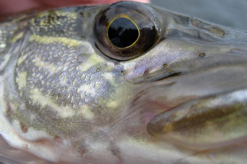 A northern pike's scales and eye up close.