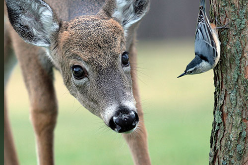 Whitetail deer looking curiously at a nuthatch.