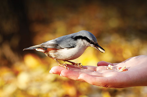 A nuthatch eating from a human hand.