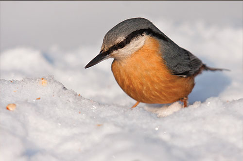 Nuthatch in the snow.