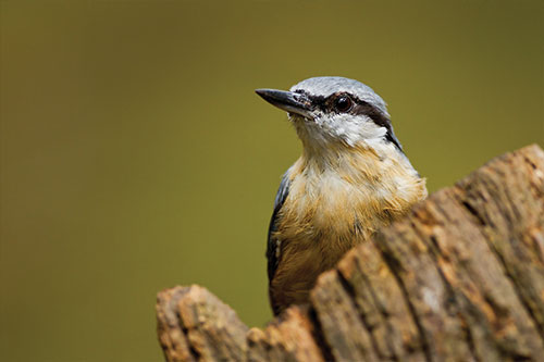 A nuthatch looking up.