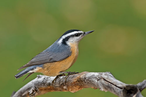 A nuthatch on a twig.
