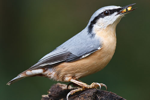 A nuthatch with seeds in its mouth.