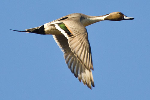 Northern Pintail duck in flight