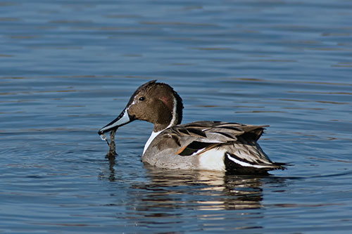 Pintail duck in the water.
