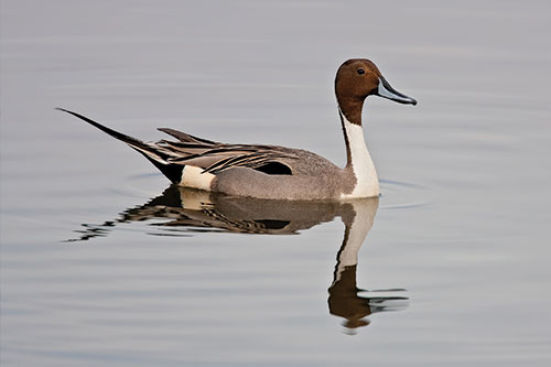 Northern Pintail duck on clear water.