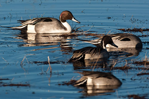 Group of Pintails dabbling