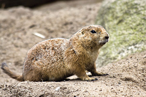 A prarie dog outside of his hole.