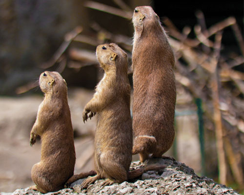 A group of prarie dogs standing on their hind legs.