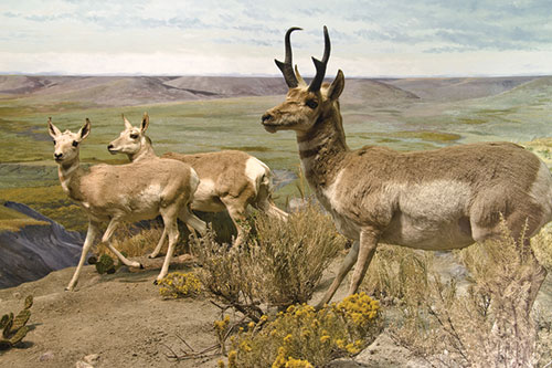 A male pronghorn antelope with two females on a bluff.