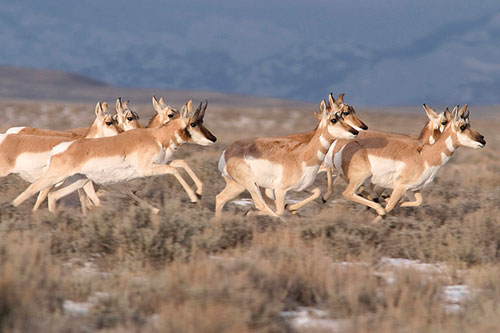 Group of pronghorn antelope running.