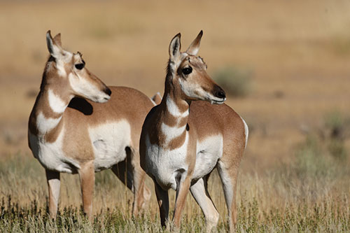 Two pronghorn antelope with their heads turned.