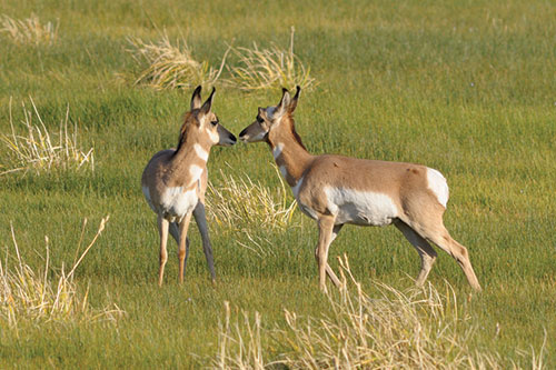 Two pronghorn antelope nosing each other.