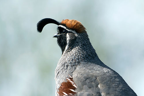 A close up photo of a quail's head.