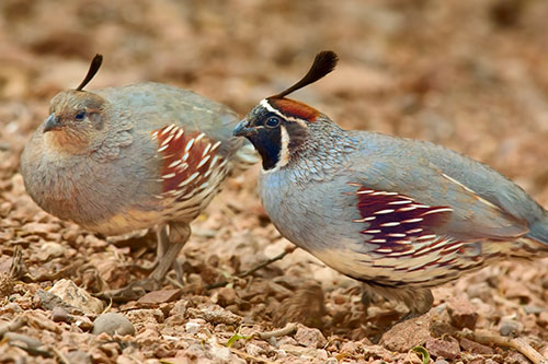 A male and female quail together.