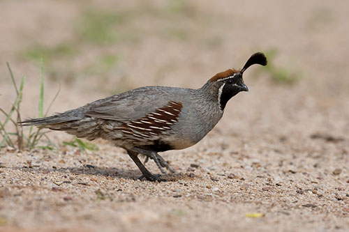 A quail with a sandy background.