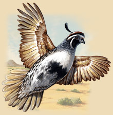 Painting of a quail flying.