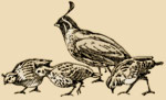 A small sketch of several quail feeding.