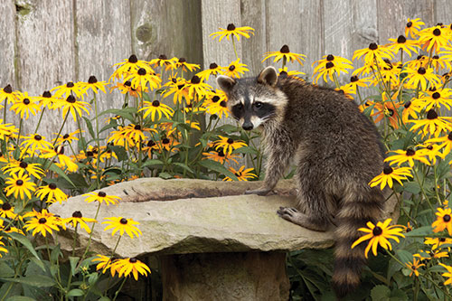 A raccoon at a bird bath