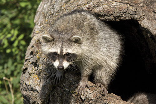 A raccoon coming out of a tree.