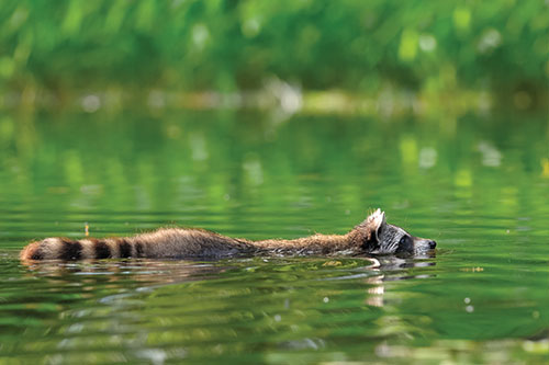 A raccoon swimming