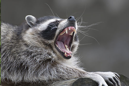 A raccoon with its mouth open