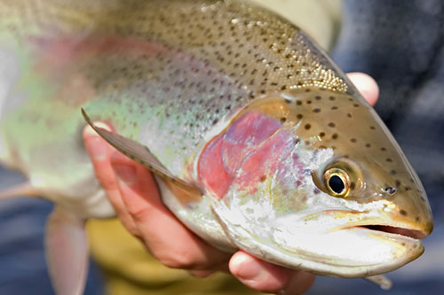 Close up photo of a rainbow trout being held by a fisherman.